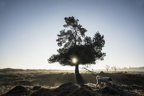 Dog walking past idyllic, back lit tree, Wiendorf, Mecklenburg, Germany - FSIF04235