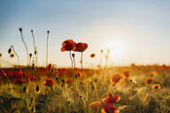 Close-up of fresh poppy flowers blooming on field against sky during sunset - MJF02372