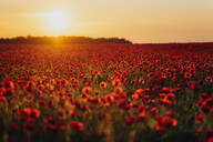 Scenic view of fresh poppy flowers on field against orange sky during sunset - MJF02375