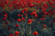 Full frame shot of fresh poppy flowers on field during sunset - MJF02378
