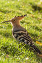 Close-up of Hoopoe perching on grass - NGF00519