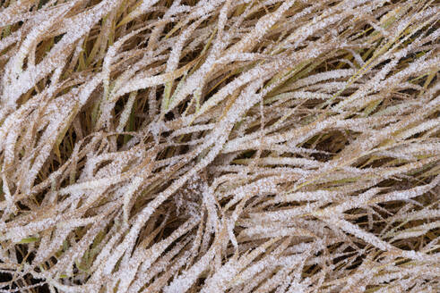 Grass with hoar frost - RUEF02255