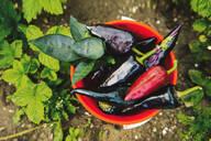 Bucket of peppers in vegetable garden - BLEF11367