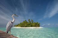 Stork standing on wooden dock near tropical island - BLEF11823