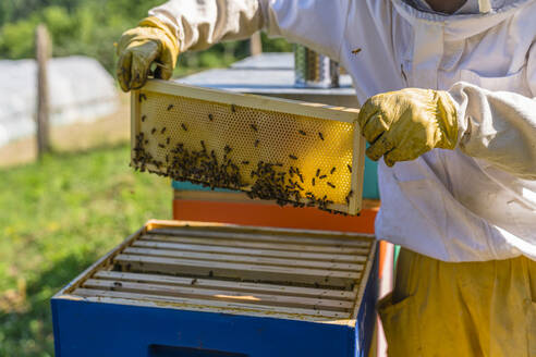 Beekeeper checking frame with honeybees - MGIF00594