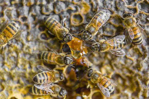 Italy, Tuscany, Arezzo, Beekeeper - MGIF00618