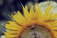 Close-up of honeybee on sunflower - DWIF01013