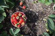 Bucket of strawberries in garden - BLEF12099