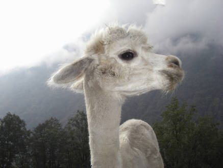 Close up of llama standing near mountain - BLEF12684