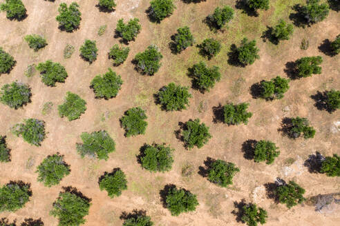 Aerial view of olive grove during sunny day, Lecce, Italy - AMF07229