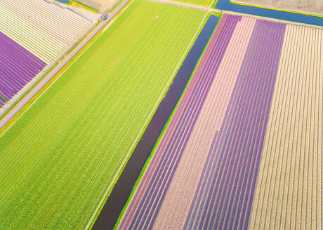 Amazing aerial view of colorful blossoming fields of tulips in Lisse, Netherlands - AAEF00692