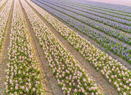 Aerial view of rows of beautiful tulip flowers at Keukenhof botanical garden in Lisse, Netherlands - AAEF00701