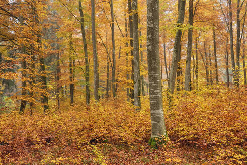 Trees in forest during autumn at Baden-Württemberg, Germany - RUEF02310