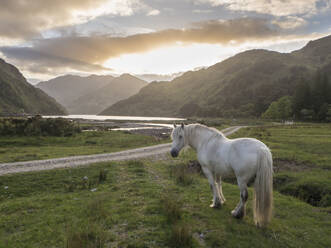 White horse standing on grassy land against cloudy sky at sunset, Scotland, UK - HUSF00059