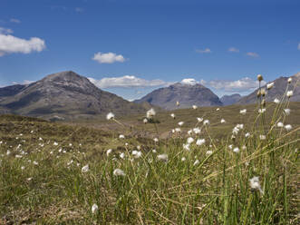 Cotton plants on land against blue sky during sunny day, Scotland, UK - HUSF00068