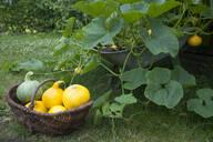 Pumpkins in wicker basket by plants at farm - GISF00450