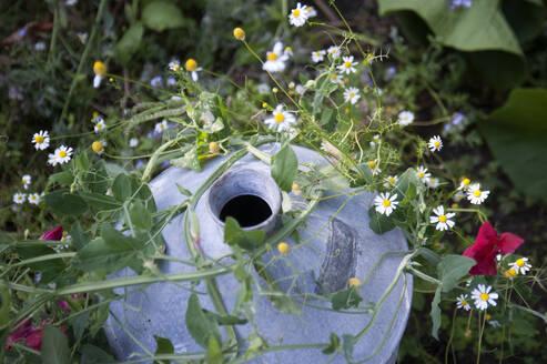 High angle view of chamomiles with pot on land - GISF00453
