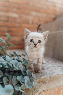 Portrait of kitten with blue eyes - AFVF03794