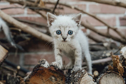 Portrait of kitten with blue eyes - AFVF03797