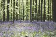 Trees and bluebell flowers growing in Hallerbos National park, Belgium - MOMF00744