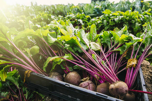 Close up of fresh beets in crate in farm field - BLEF14595