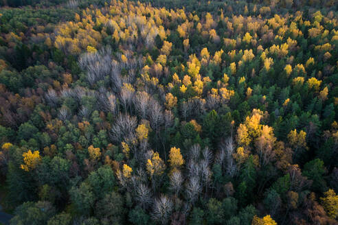 Aerial view of a colorful nordic pines forest at fall in Estonia - AAEF02236