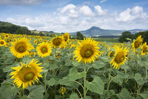 Scenic view of sunflowers growing on landscape against cloudy sky, Germany - ELF02059