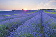 Lavender field at Snowshill Lavender, The Cotswolds, Gloucestershire, England, United Kingdom, Europe - RHPLF00937