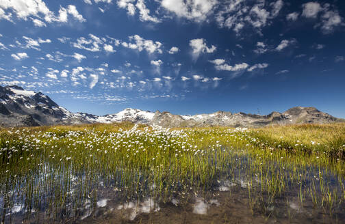 Eriophorus (cotton grass) blooming in the water of a lake in Upper Engadine, surrounded by the Swiss Alps, Graubunden, Switzerland, Europe - RHPLF00973