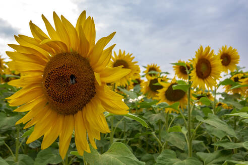 Close-up of sunflowers blooming in agricultural field at Wurzburg against sky - NDF00965