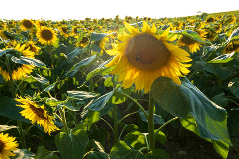 Sunflowers growing in field during sunny day, Franconia, Germany - NDF00968