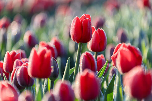 Close up of red tulips in bloom in the countryside of Berkmeer, municipality of Koggenland, North Holland, The Netherlands, Europe - RHPLF01421