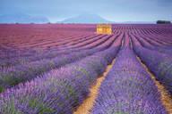 House in a lavender field at sunset, Plateau de Valensole, Alpes-de-Haute-Provence, Provence-Alpes-Cote d'Azur, France, Europe - RHPLF01493