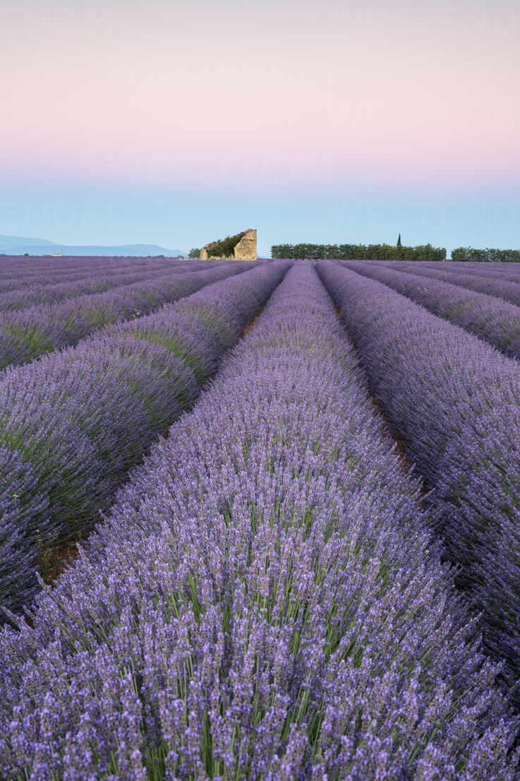 Ruins in a lavender field at dawn, Plateau de Valensole, Alpes-de-Haute-Provence, Provence-Alpes-Cote d'Azur, France, Europe - RHPLF01499 - RHPL/Westend61