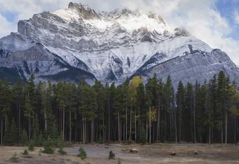 Elk in the Canadian Rockies, Banff National Park, UNESCO World Heritage Site, Canadian Rockies, Alberta, Canada, North America - RHPLF01920