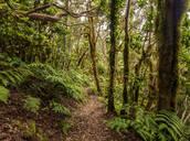 Bosque Encantado, laurel forest, Anaga Rural Park, Tenerife Island, Canary Islands, Spain, Europe - RHPLF03341