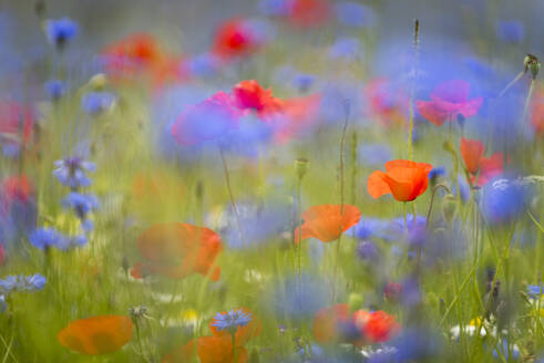 Wildflower meadow of poppies and cornflower, Piano Grande, Monte Sibillini, Umbria, Italy, Europe - RHPLF03876