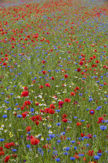 Wildflower meadow of poppies and cornflowers, Monte Sibillini Mountains, Piano Grande, Umbria, Italy, Europe - RHPLF03882