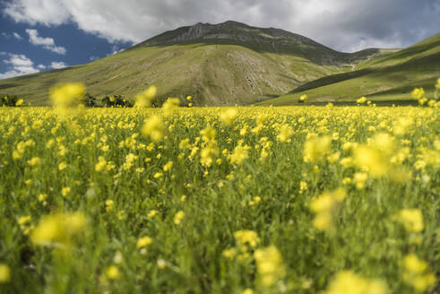 Flowering lentils on the Piano Grande, Monte Sibillini National Park, Umbria, Italy, Europe - RHPLF03885