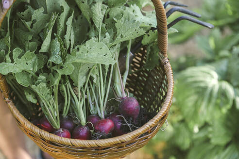 Harvested red radish in a basket - KNTF03050