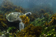 Pacific green sea turtle (Chelonia mydas) underwater on Fernandina Island, Galapagos, Ecuador, South America - RHPLF04644