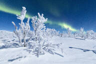 Frozen trees covered with snow under the Northern Lights (Aurora Borealis), Abisko, Kiruna Municipality, Norrbotten County, Lapland, Sweden, Scandinavia, Europe - RHPLF04701