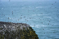 Elegug Stacks, occupied by a colony of Guillemots, Pembrokeshire Coast National Park, Wales, United Kingdom, Europe - RHPLF06033