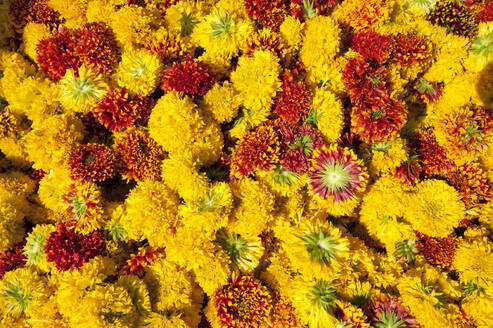 Cut yellow marigolds for sale in the early morning flower market, Jaipur, Rajasthan, India, Asia - RHPLF06757