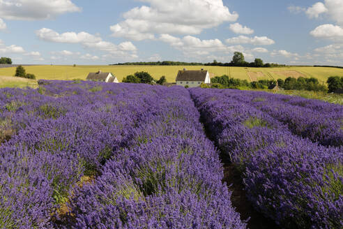 Cotswold Lavender, Snowshill, Cotswolds, Gloucestershire, England, United Kingdom, Europe - RHPLF06760