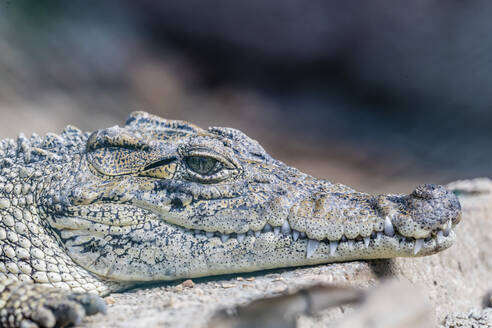 Captive Cuban crocodile (Crocodylus rhombifer), a small species of crocodile endemic to Cuba, West Indies, Central America - RHPLF06796