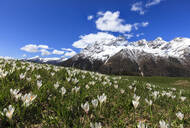 Green meadows covered with blooming crocus framed by snowy peaks in spring, Barchi, Malenco Valley, Valtellina, Lombardy, Italy, Europe - RHPLF07804