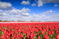 Blue sky and sun on fields of red tulips during spring bloom, Oude-Tonge, Goeree-Overflakkee, South Holland, The Netherlands, Europe - RHPLF07816