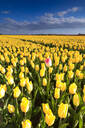 Blue sky and clouds in the fields of yellows tulips in bloom, Oude-Tonge, Goeree-Overflakkee, South Holland, The Netherlands, Europe - RHPLF07819