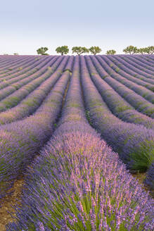 Lavender rows, Plateau de Valensole, Alpes-de-Haute-Provence, Provence-Alpes-Cote d'Azur, France, Europe - RHPLF08164